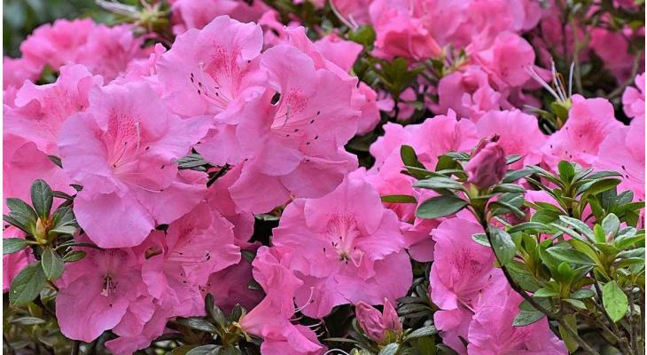 Rhododendron : une belle fleur de printemps