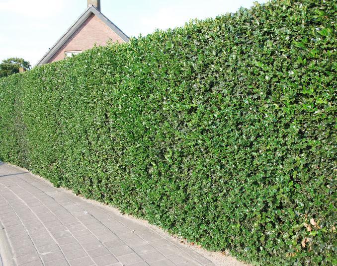 Houx commun ilex aquifolium - Osmanthus siepe ...
