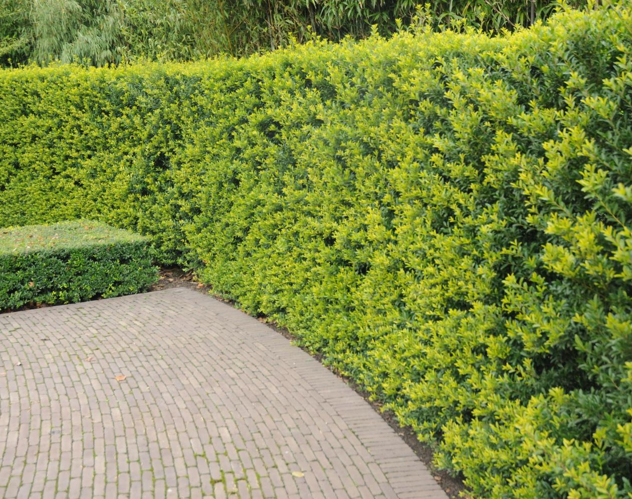 Planter Une Bordure De Buis ilex crenata 'green hedge' - alternatives aux buis - plantes