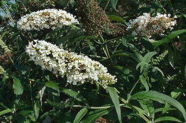 Arbre aux papillons 'White Profusion'