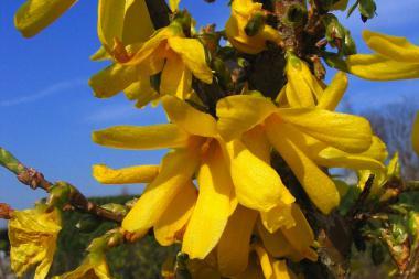 Forsythia hybride 'Spectabilis'