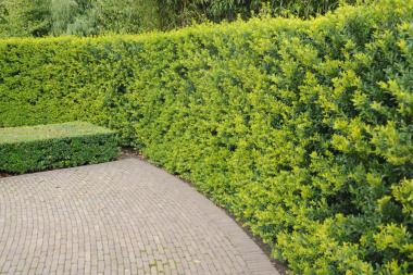 Ilex crenata 'Green Hedge'