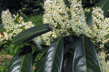Laurier palme 'Herbergii'