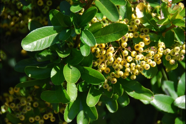 Buisson ardent 'Golden Charmer'