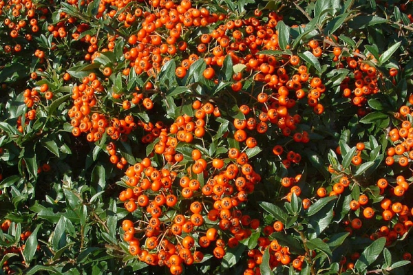 Buisson ardent 'Red Cushion'