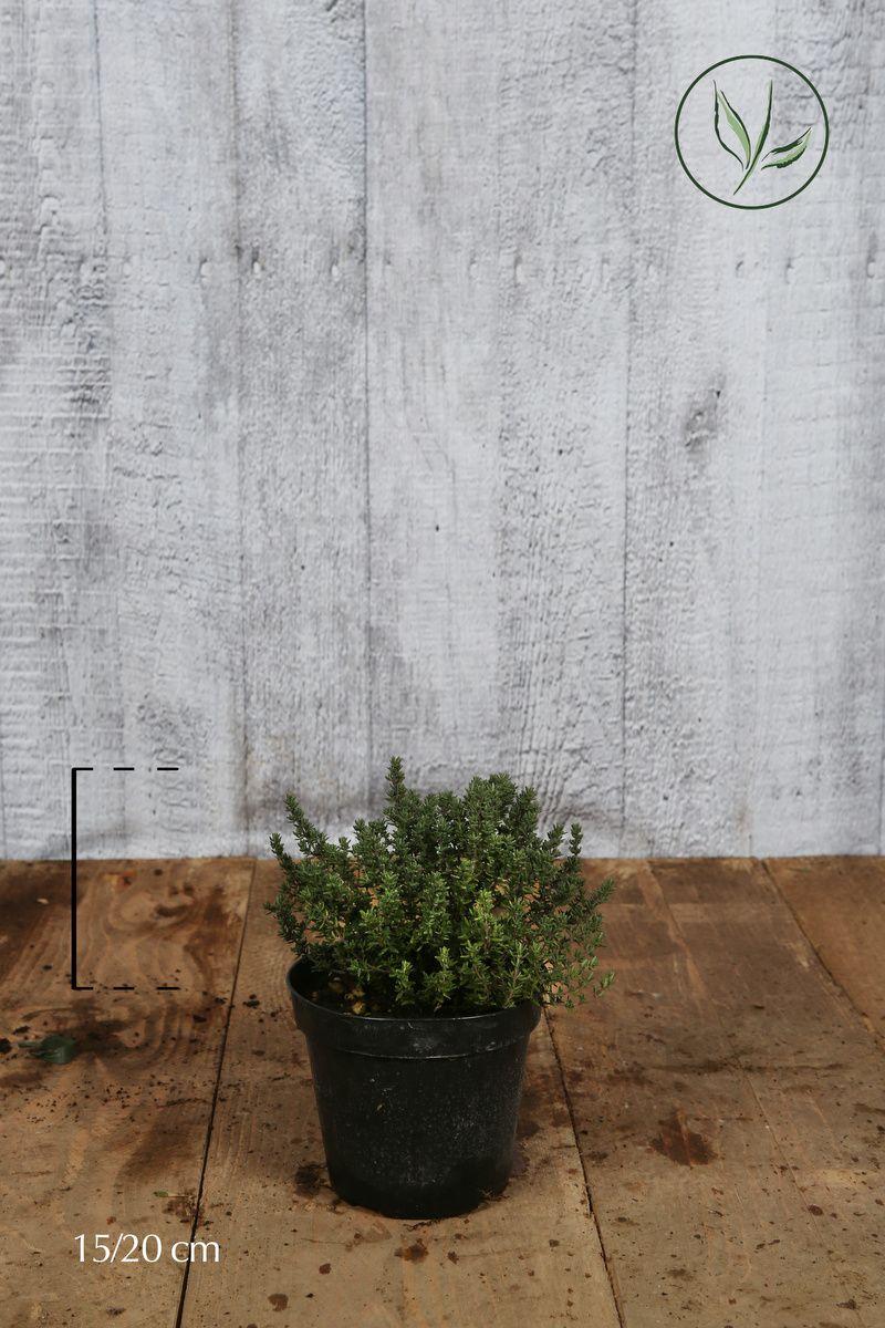 Thymus officinalis Conteneur 15-20 cm