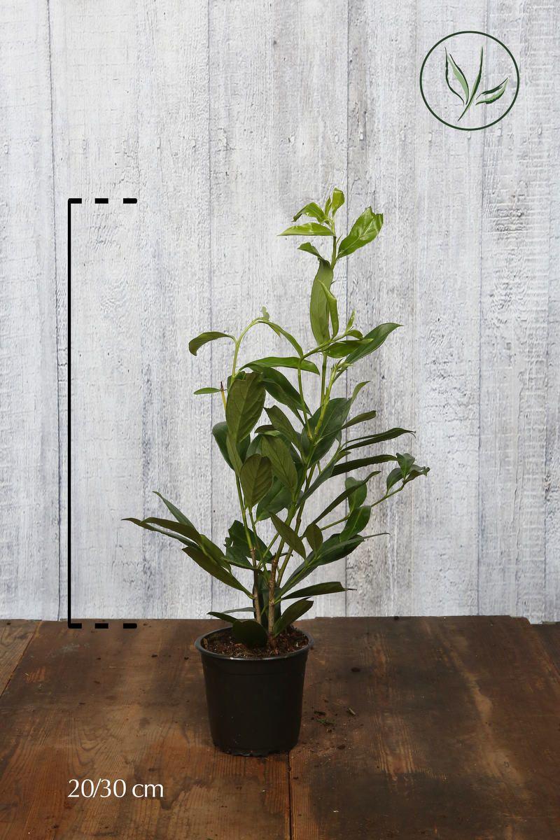 Laurier palme 'Caucasica' Conteneur 20-30 cm