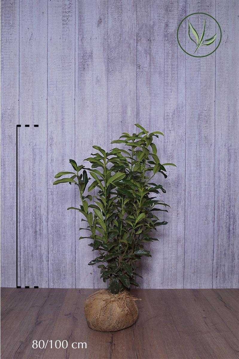 Laurier cerise 'Genolia' ® En motte 80-100 cm Qualité extra