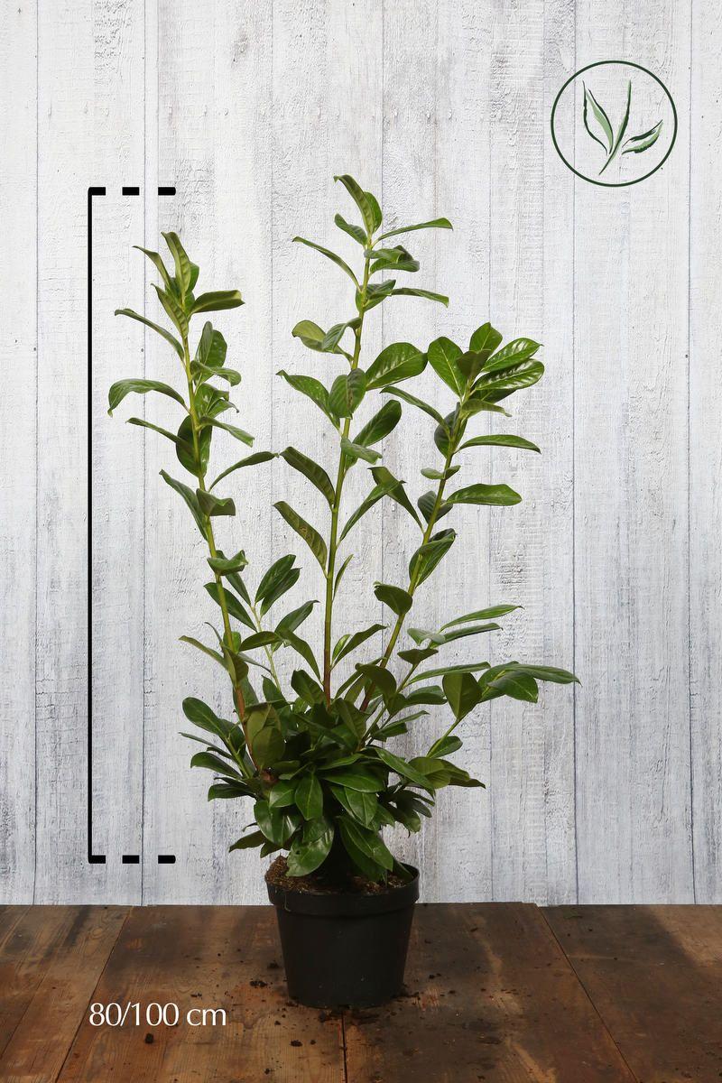 Laurier palme 'Novita'  Conteneur 60-80 cm