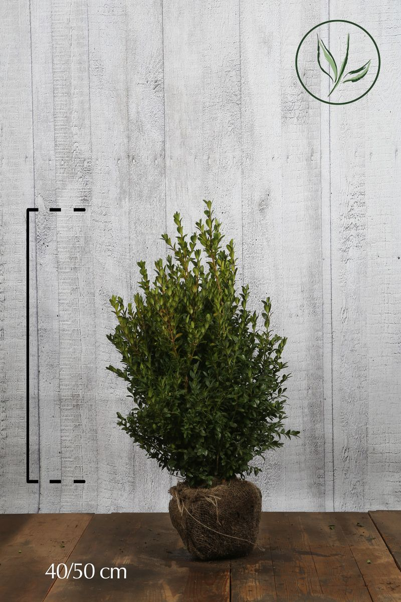 Buis - Arbustes En motte 40-50 cm