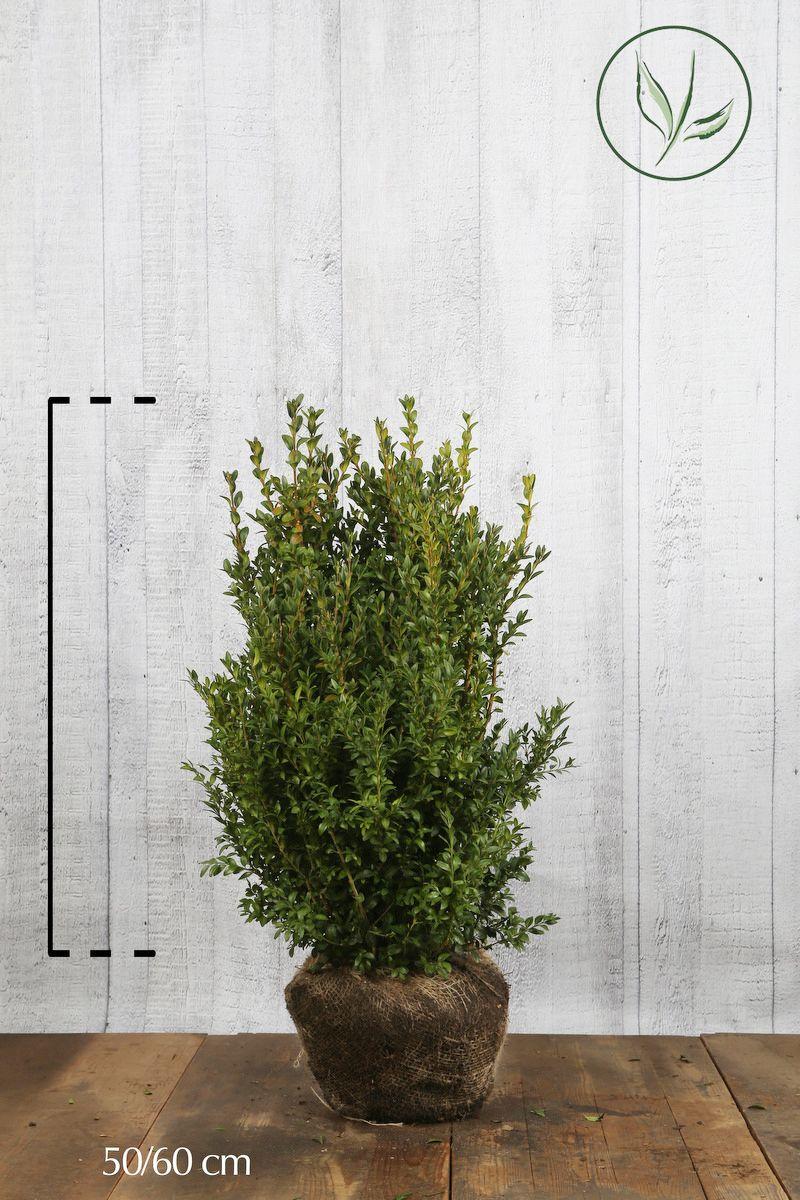 Buis - Arbustes En motte 50-60 cm
