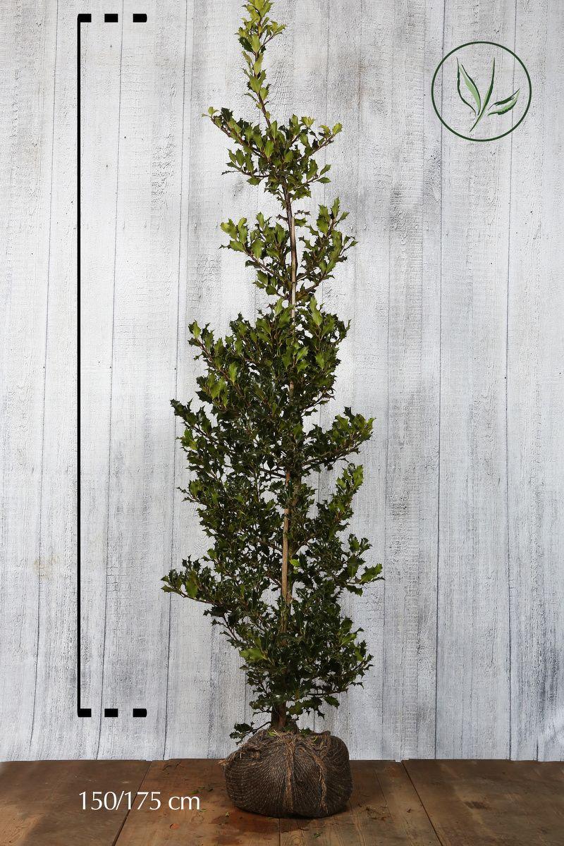 Houx commun En motte 150-175 cm