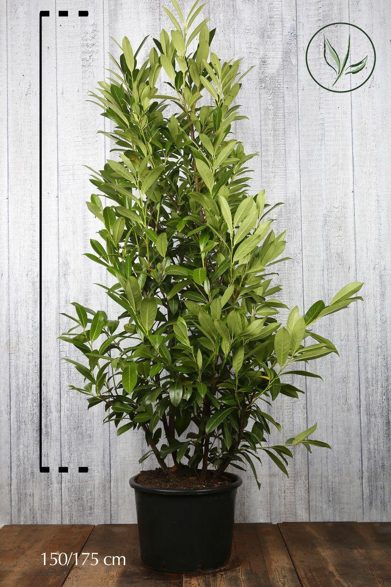Laurier palme 'Caucasica' Conteneur 150-175 cm Qualité extra