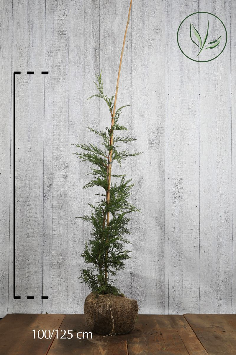 Cyprès de Leyland (vert) En motte 100-125 cm
