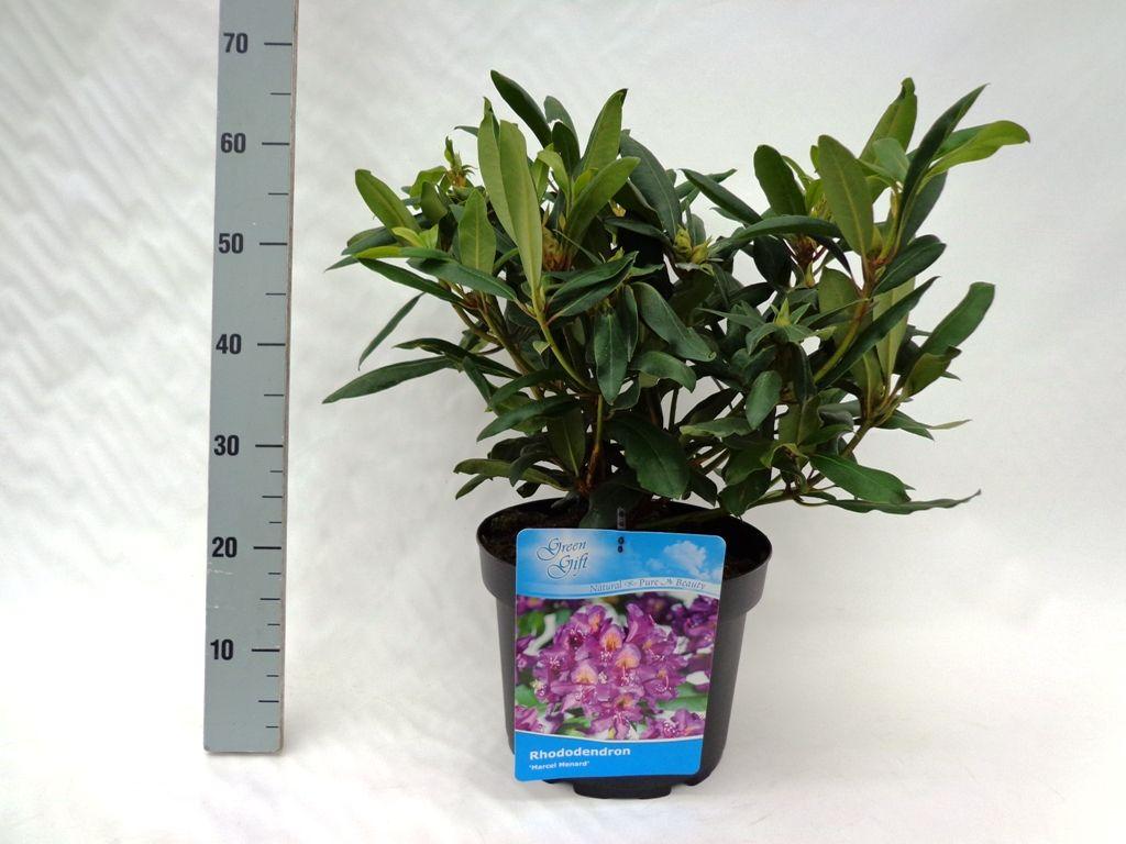 Rhododendron 'Marcel Menard'  Conteneur 40-50 cm Qualité extra
