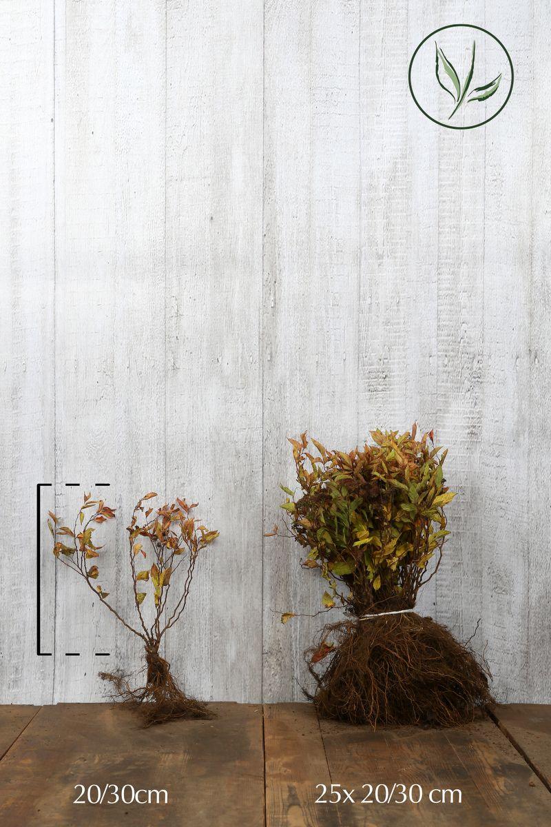Spirée japonaise 'Goldflame' Racines nues 20-30 cm