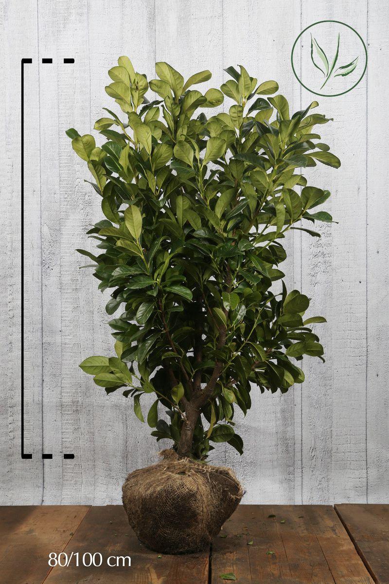 Laurier palme 'Etna'  En motte 80-100 cm Qualité extra