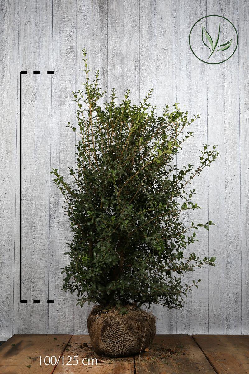 Osmanthe burkwoodii  En motte 100-125 cm