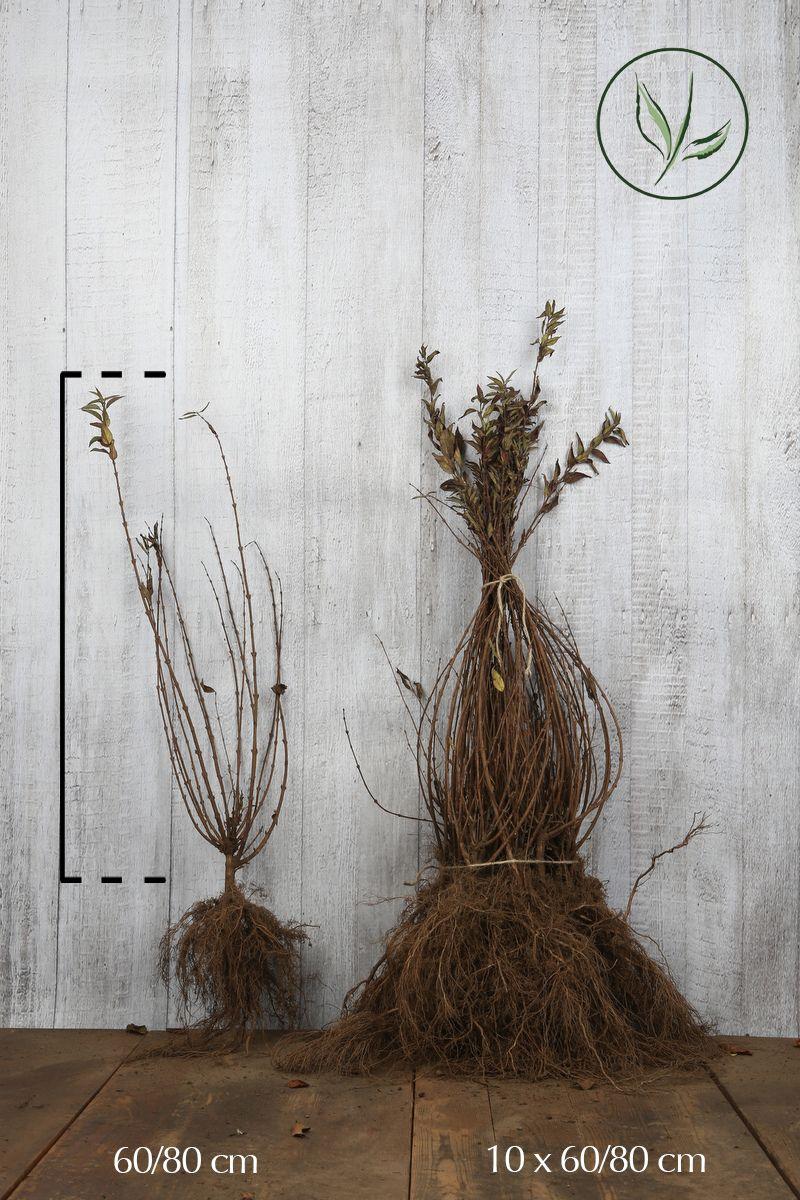 Troène Champêtre, Troène d'Europe  Racines nues 60-80 cm