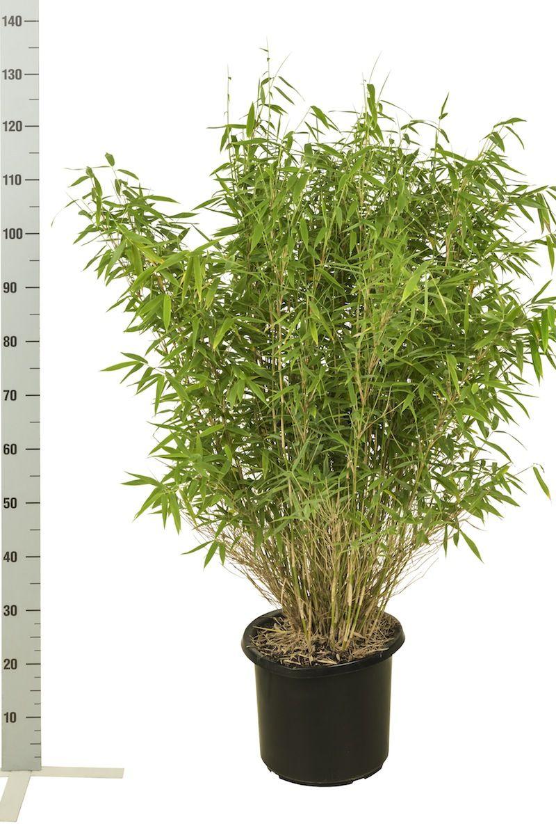 Fargesia murielae 'Jumbo' Conteneur 80-100 cm