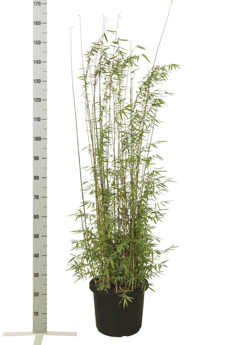 Fargesia jiuzhaigou Conteneur 100-125 cm