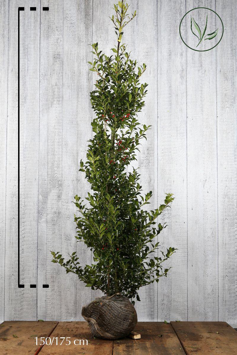 Houx 'Heckenfee'  En motte 150-175 cm