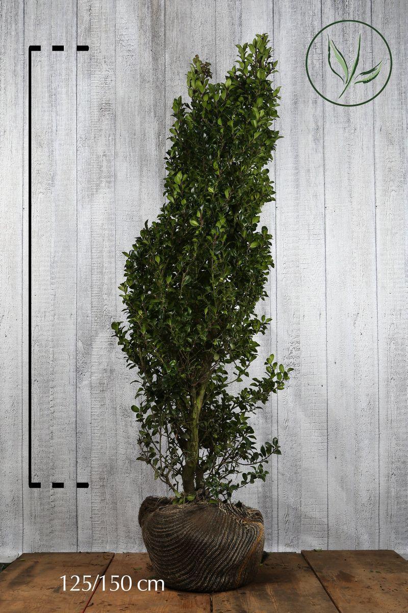 Houx 'Heckenstar'  En motte 125-150 cm