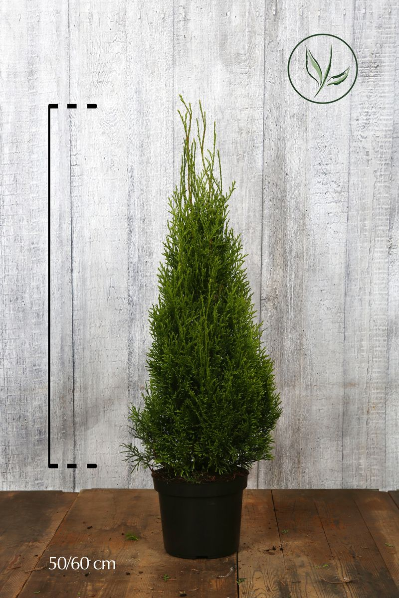 Thuya du Canada 'Smaragd'  Conteneur 50-60 cm Qualité extra