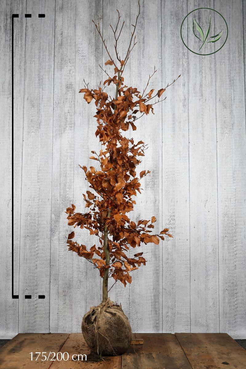 Hêtre commun, Hêtre vert  En motte 175-200 cm Qualité extra