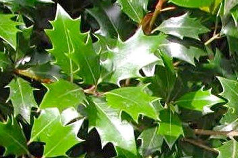 Osmanthe heterophyllus