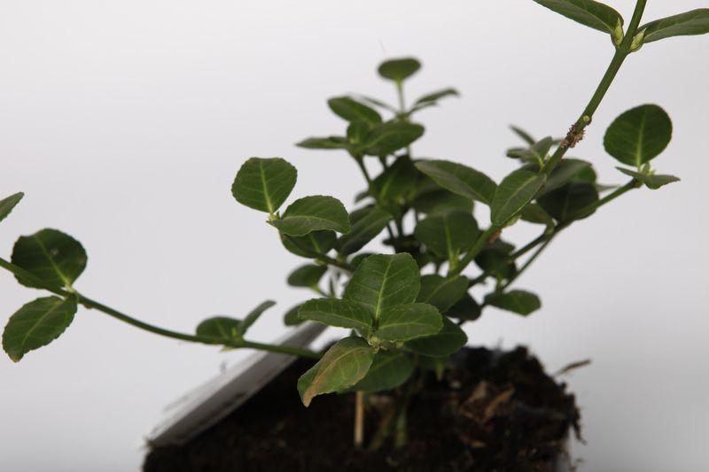 Fusain persistant 'Vegetus'