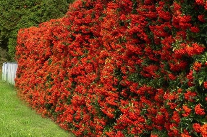 Buisson ardent 'Red Column'