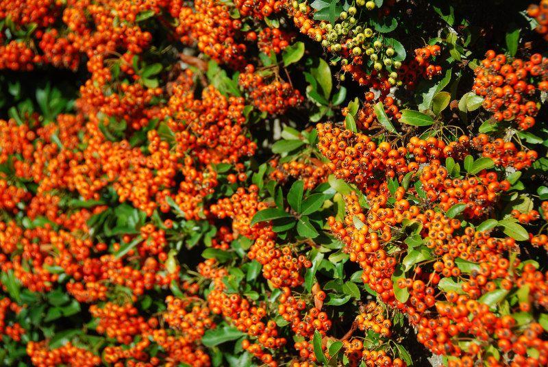 Buisson ardent 'Orange Glow'