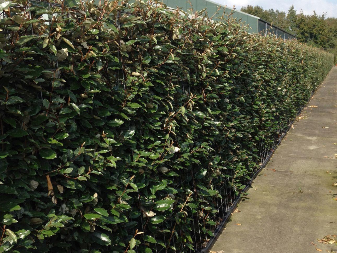 Chalef Haies prêtes à planter 180 cm Prêts à planter