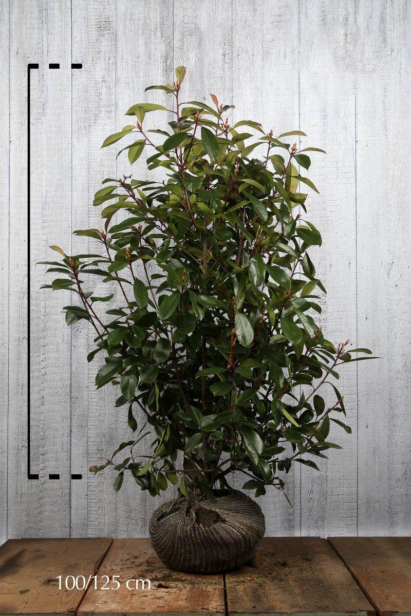 Photinia 'Red Robin'  En motte 100-125 cm