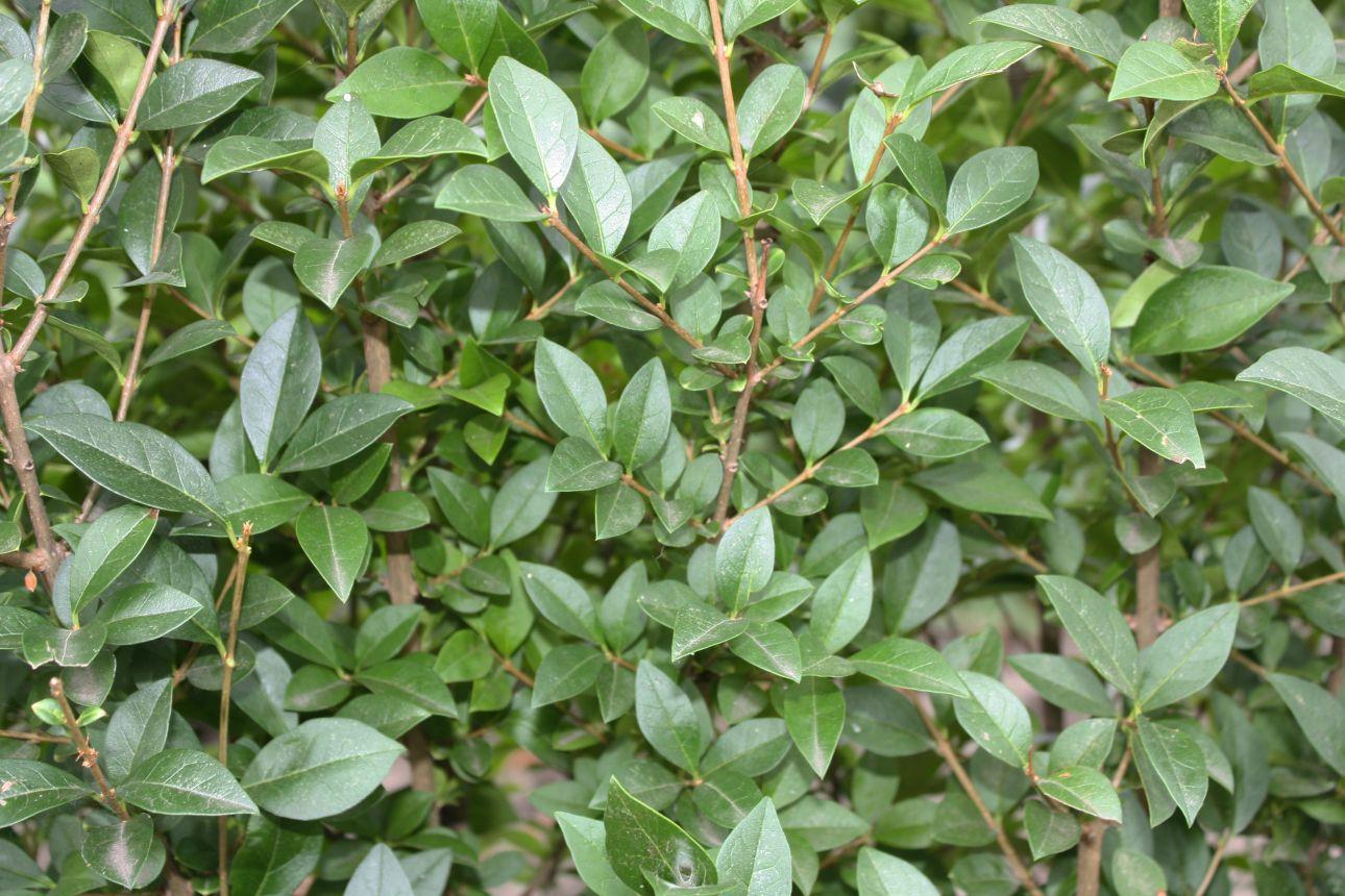 Troène vert, Troène de Californie