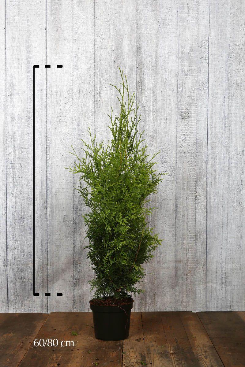 Thuya du Canada 'Brabant' Conteneur 60-80 cm