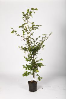 Hêtre commun, Hêtre vert  Conteneur 100-125 cm