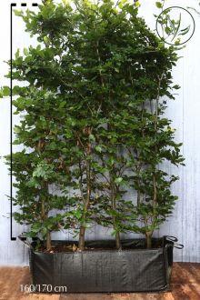 Hêtre commun, Hêtre vert  Haies prêtes à planter 150-175 cm Prêts à planter