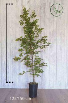 Hêtre commun, Hêtre vert  Conteneur 125-150 cm Qualité extra