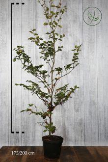 Hêtre commun, Hêtre vert  Conteneur 175-200 cm Qualité extra