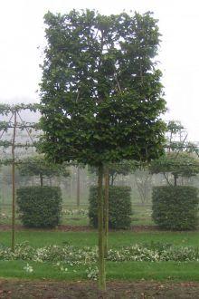 Fagus sylvatica Spalier - À croissance guidée récente - en motte - 280 - 12-14cm