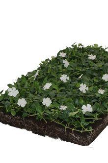 Petite pervenche blanche - couvre-sol-tapis
