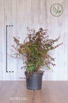 Épine-vinette de Thunberg pourpre Conteneur 60-80 cm