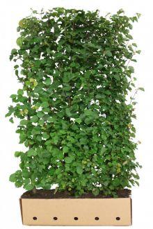 Tilleul à petites feuilles  Haies prêtes à planter 200 cm Qualité extra