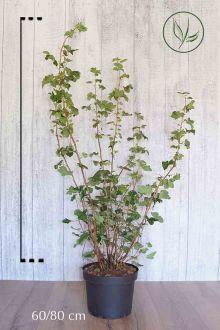 Groseillier à fleurs 'King Edward VII'  Conteneur 60-80 cm