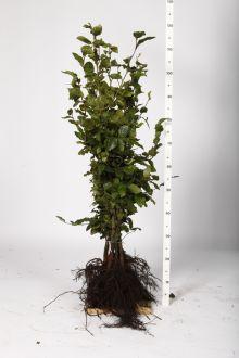 Hêtre commun, Hêtre vert  Racines nues 80-100 cm