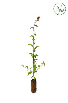 Prunellier Plantes cultivées en cellules 40-60 cm Qualité extra