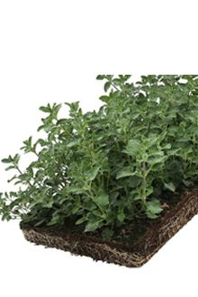 Nepeta - Couvre-sol tapis