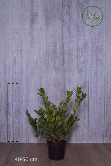 Laurier palme 'Mano' Conteneur 40-50 cm